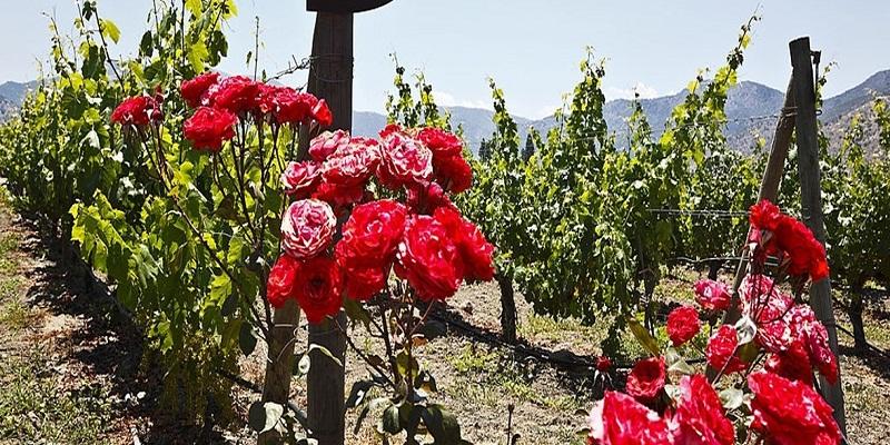 Vì sao hay trồng nho cùng hoa hồng