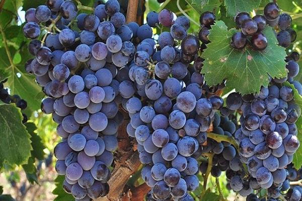 Primitivo giống nho tạo nên những tuyệt phẩm rượu vang Ý